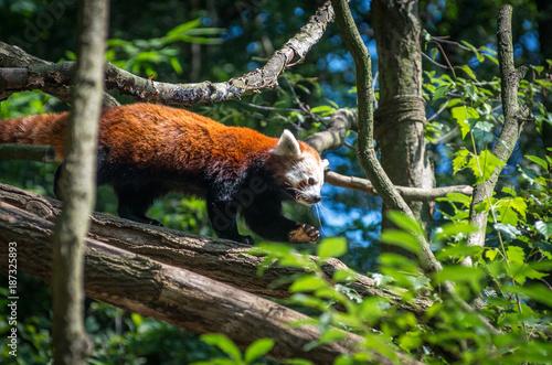 Fotobehang Panda Red panda on a tree