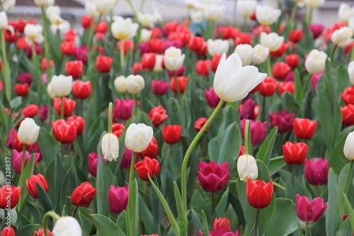 Fotobehang Tulpen White tulip and blurred red tulip background