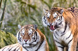 Siberian tiger brothers