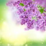Bush of Lilac - 187331214