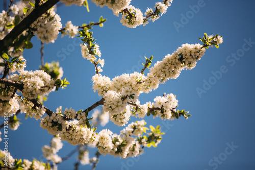 almendro en flor - 187335636