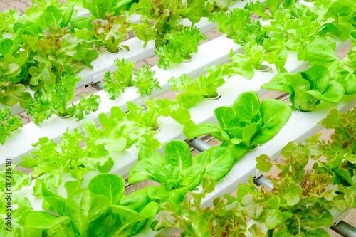 Organic hydroponic vegetable farm - 187336481