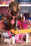 Dachshund in a tie and sewing machine, tailor for dogs Fashion designer