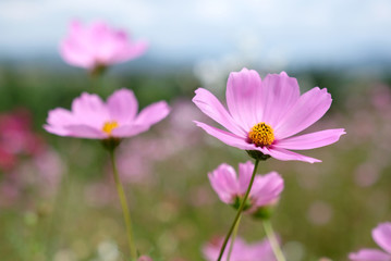 Cosmos flowers in the field.