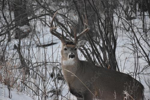 Foto op Plexiglas Canada Lone Deer in Winter