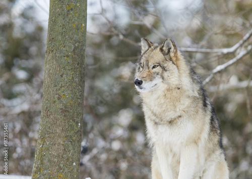 Foto op Plexiglas Canada Timber wolf in winter