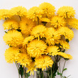 Close up of yellow chrysanthemum. Texture made of flowers