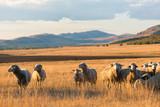 Flock of sheep at sunset