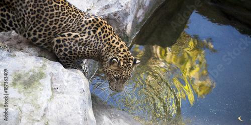 Leopardo junto a poza