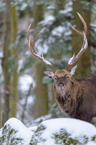 Aluminium Hert Color outdoor wildlife winter animal portrait of a single red deer with large antlers standing behind a rock with snow in front of a forest on a sunny day
