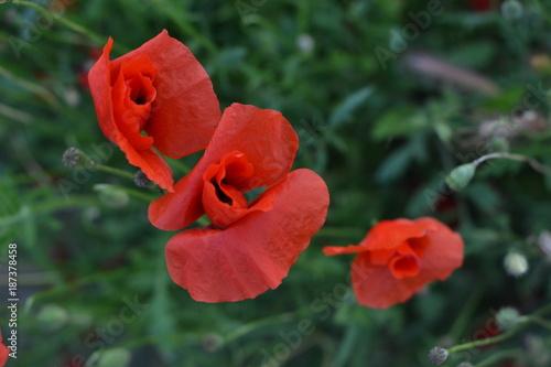 Foto op Canvas Klaprozen Tre papaveri rossi