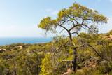 Pine tree growing in coastal landscape in Cyprus. - 187379401
