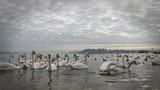 Swans on the Danube River in Belgrade, Serbia - 187396670