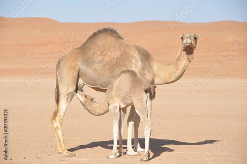 Fotobehang Kameel Mother and Baby Camel