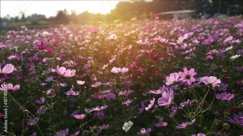 cosmos flower field in wind breeze.