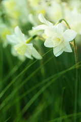 Narcissus flower. daffodils blooming background in cold colors. Spring mood