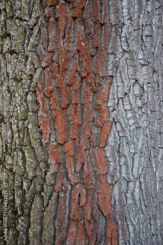 natural bark texture of an old tree - 187433625