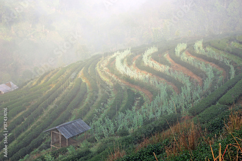 Foto op Aluminium Khaki Tea field in the morning at Doi ang khang, Chiang mai, Thailand