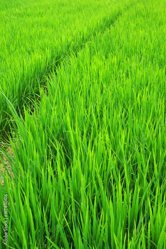 Green rice field - 187440416