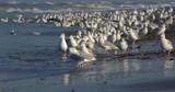 Goéland cendré ( Larus canus , Mew Gull ) sur la plage de Quend-Plage - 187440825