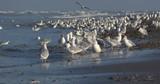 Goélands cendrés (Larus canus ,Mew Gull) sur la plage de Quend-Plage - 187440899