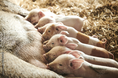 Foto Murales ecological pigs and piglets at a grass field in the summer