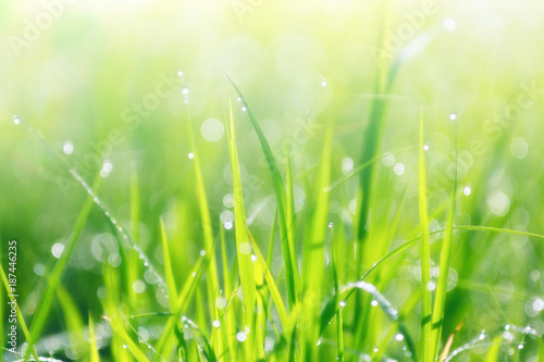 Fotobehang Natuur dew drop on rice field , thailand