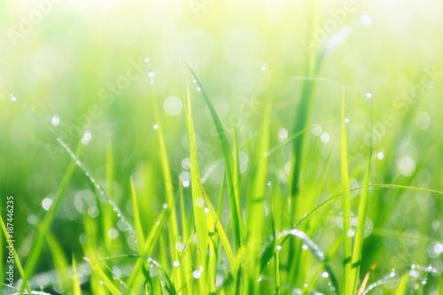 Foto Murales dew drop on rice field , thailand