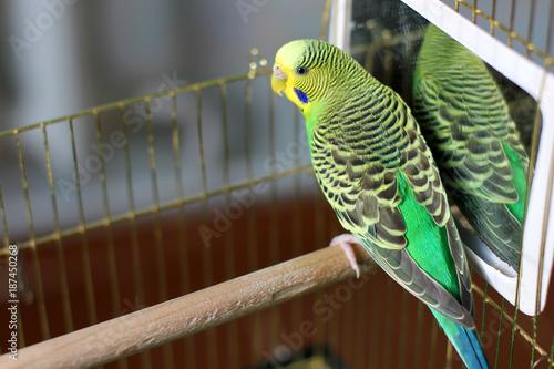 Aluminium Papegaai A wavy parrot in green color. A parrot.