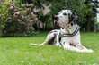 Senior harlekin great dane in the garden