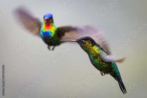 Aluminium Papegaai Hummingbird in the cloud forest of Dota, Costa Rica