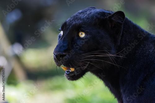 Foto op Plexiglas Panter Black leopard