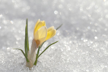 Crocus grows under snow with a sunny spring day. Beautiful yellow flower on a white shiny background.