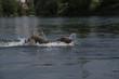 Dog swimming in river