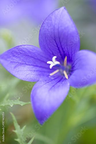 Fotobehang Iris 花イメージ