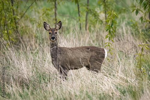 Aluminium Hert Roe deer in a field