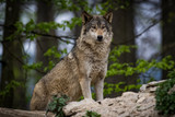 Canadian timberwolf in a forest