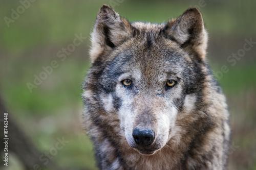 European wolf - 187463448