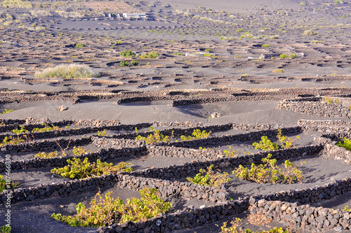 Vineyard Landscape in Tropical Volcanic Canary Islands Spain