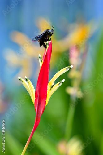 Fotobehang Iris Carpenter Bee on colourful flower