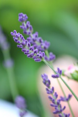 Lavendel - Lavandula angustifolia - Lavandula officinalis - Blüten 31