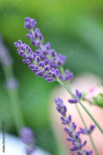 Lavendel - Lavandula angustifolia - Lavandula officinalis - Blüten 31 - 187471279