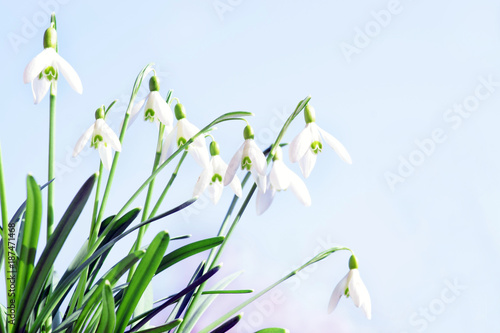 Fototapeta Spring, Snowdrop, Schneeglöckchen, Frühling, Frühlingsboten, Himmel, Textraum, copy space