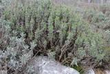 Lavendel - Lavandula angustifolia - Lavandula officinalis - Blattwerk 4