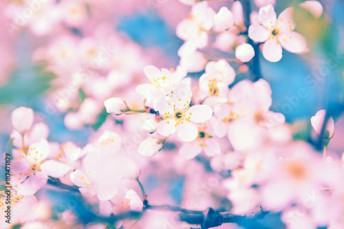 Deurstickers Seoel Sakura with soft focus, pink cherry blossom season
