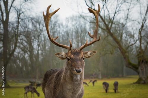 Aluminium Hert Fallow male deer in the forest, wildlife in Europe