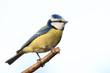 Leinwanddruck Bild - Blaumeise auf Zweig schön freigestellt vor hellen Hintergrund