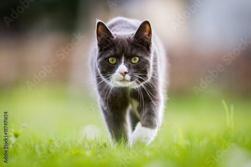 Chat en chasse - 187491654