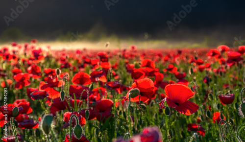 Aluminium Klaprozen poppy flowers field in foggy mountains. beautiful summer landscape at sunset