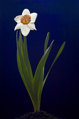 Daffodil in the ground on a dark blue background.